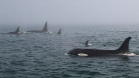 Endangered resident orcas return to inland waters after long absence