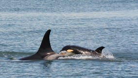 Starving, sick orca not spotted since last week as NOAA readies unprecedented action