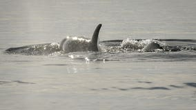 'Pathogens' found in starving orca's fecal samples; no update on dead calf