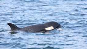 'She's dead:' Scientists say struggling southern resident orca J50 deceased