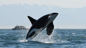 Car tab initiative could cut into orca recovery