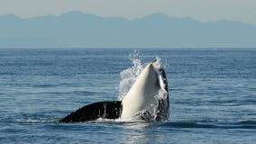 Ferries slowing down to save endangered orcas
