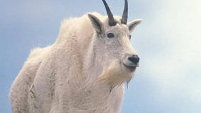 Mountain goats being relocated from Olympic National Park to North Cascades