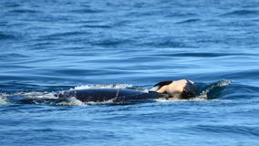Southern resident orca mom desperately pushes dead calf; another 'severely emaciated'