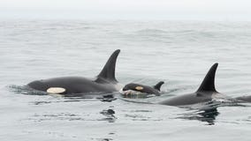 It's a girl! Why the newest orca calf's gender is so important