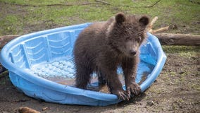 Two orphaned grizzly bear cubs are heading to the Northwest
