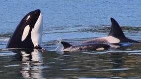 Researchers hope case of grieving orca mother will push people to help save species