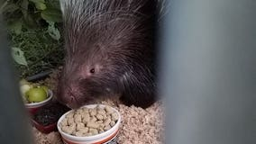 Giant African porcupine finally caught in Pierce County
