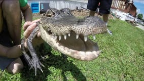 Trailer park becomes temporary home for alligator found in nearby lake