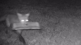 Foxes are stealing newspapers and leaving them all over one man's backyard