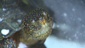 Nearly extinct Western Pond Turtles get boost from Woodland Park Zoo