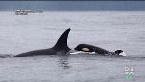 Both orca babies alive, all 3 southern resident pods spotted