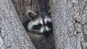 Teacher accused of drowning raccoons, opossum in class