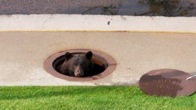 Wildlife officers rescue bear stuck in storm drain