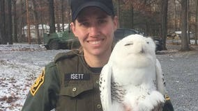 Snowy owl rescued from prison fence on Christmas Day