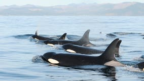 Feds propose major habitat protections for endangered southern resident orcas