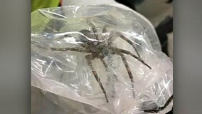 Yikes! Man captures 6-inch spider at work