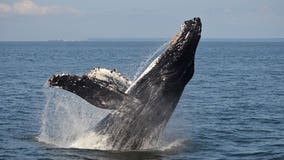 Trump administration agrees to protect West Coast humpback whales
