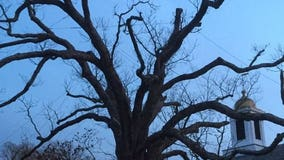 Beloved 600-year-old white oak tree takes final bow