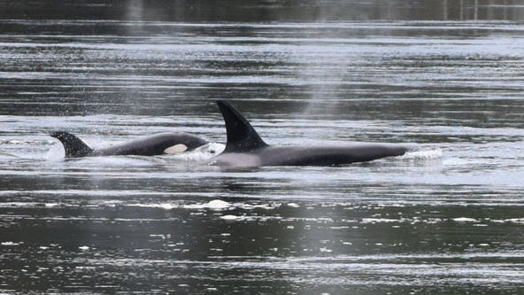 Oldest male in Southern Resident orca KPod presumed dead, dropping already low whale population