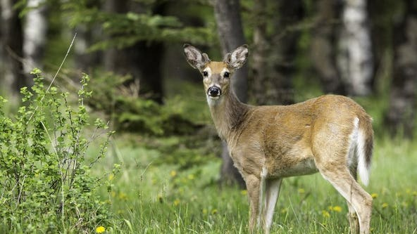 Deer foaming at the mouth, dropping dead in San Juan Islands