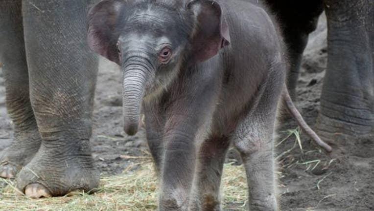 Elephant calf named Lily