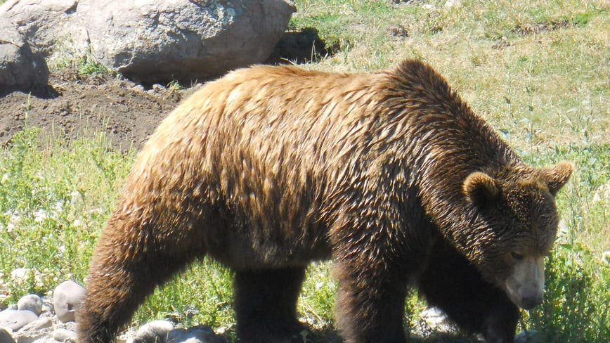 Feds scrap plans to reintroduce grizzlies to North Cascades