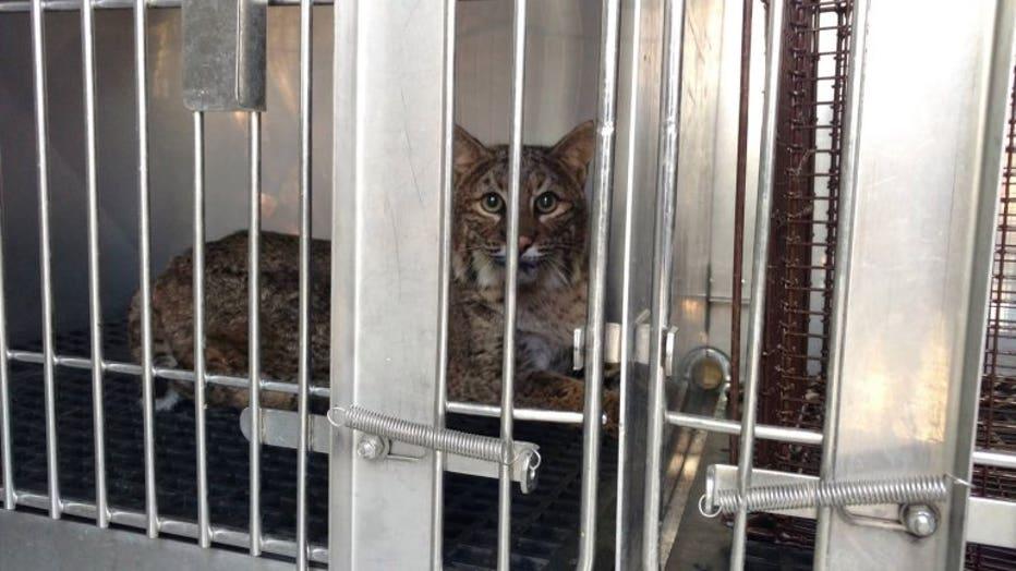 The bobcat resting at The Wildlife Center of Virginia in Waynesboro.