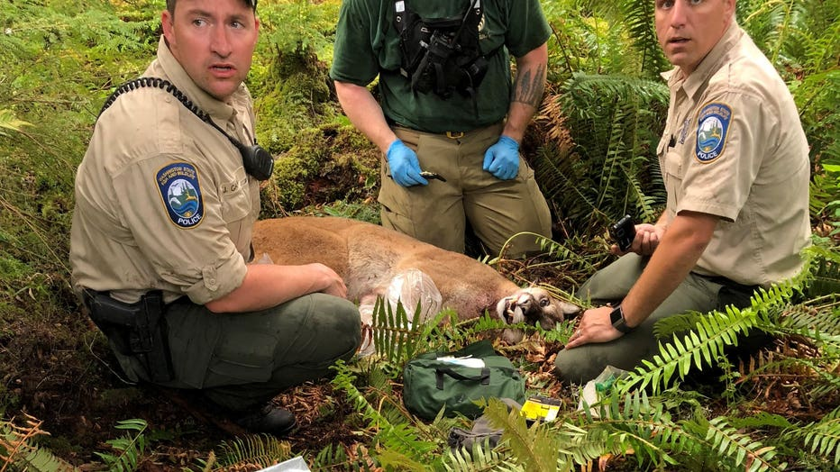 cougar attack washington