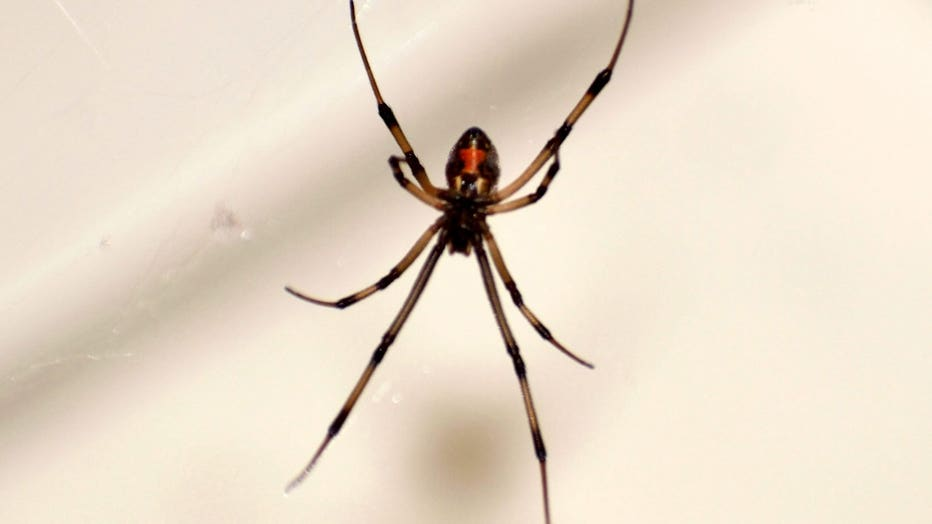 A Brown Widow Spider On Its Web