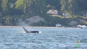 Concerns over how close boaters got to orcas in South Sound