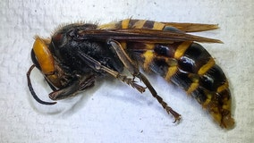 Washington state traps first 'invasive' Asian giant hornet