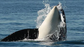 Chinook salmon decimated, southern resident orcas are residents no more