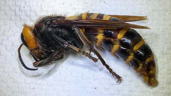 'Suspected' Asian giant hornet spotted much further east than previous sightings