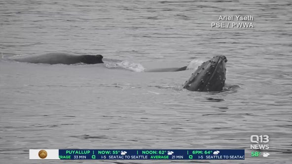 Whale possibly hit by ferry