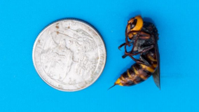 Asian giant hornets can be attracted to hummingbird feeders, state agriculture officials say
