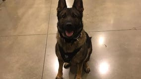 Tacoma Police to hold virtual memorial service for K9 Ronja, killed in the line of duty