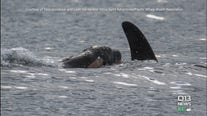 Second new orca baby spotted with J-Pod