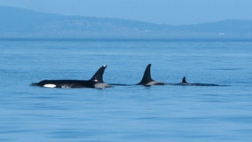 Southern resident orca Tahlequah gives birth to new calf