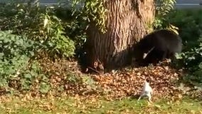 Fearless Jack Russell terrier chases black bear out of family's backyard