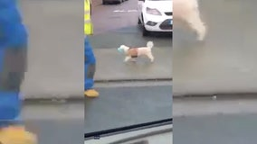 Dog takes no chances, donning mask while out in public amid rising COVID-19 cases