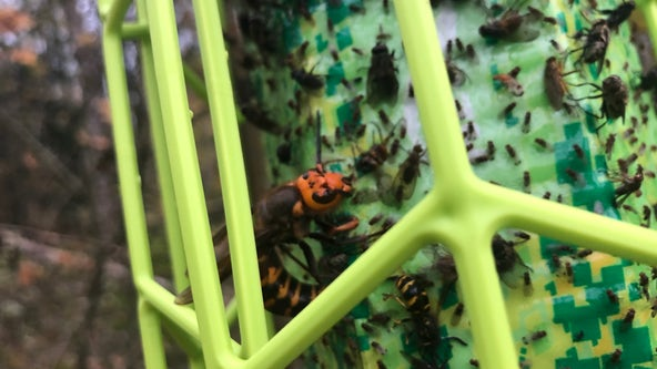 The nest is gone, but a few Asian hornets remain on Whatcom County man's property