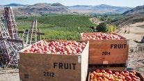 Despite 2020 challenges, Washington apple crop still delivers