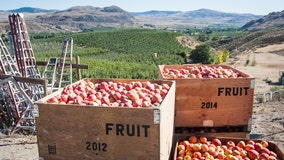 Despite 2020 challenges, Washington apple crop still delivers