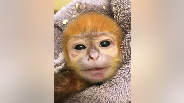 'Doing great': Philadelphia Zoo celebrates birth of endangered François' Leaf Monkey