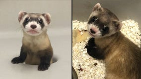An endangered species in the U.S. has been cloned for the first time