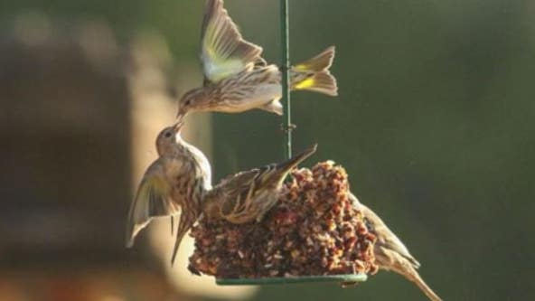 Deadly bird disease still spreading; wildlife officials say leave your bird feeder down through April