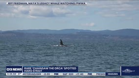 Chainsaw the Orca spotted near San Juan Islands