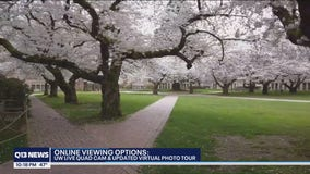 UW moves cherry blossom viewing online again due to pandemic