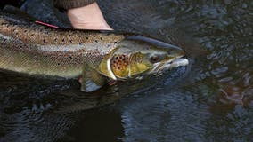Washington state hatchery to rely on native steelhead trout